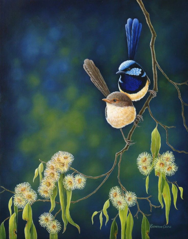(Blue wren male and female by Catherine Castle).Fairywrens (Maluridae) are restricted to Australia and New Guinea). Despite the name, they are not related to Northern Hemisphere wrens (Troglodytidae).