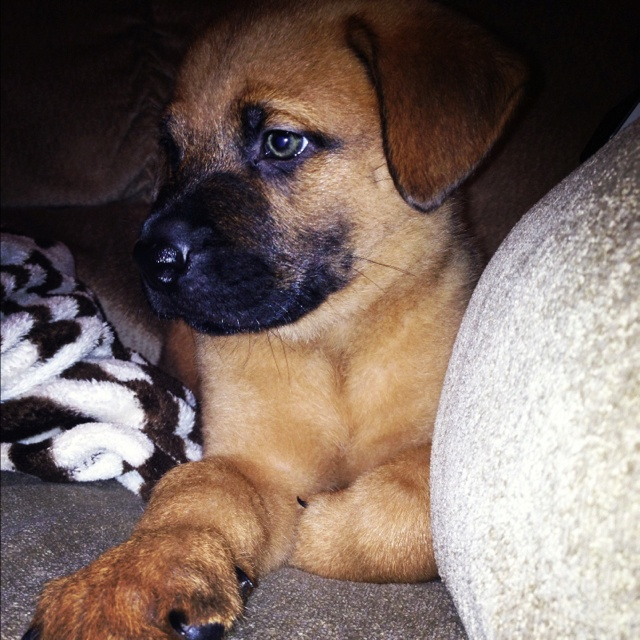 mix rottweiler puppy-#24