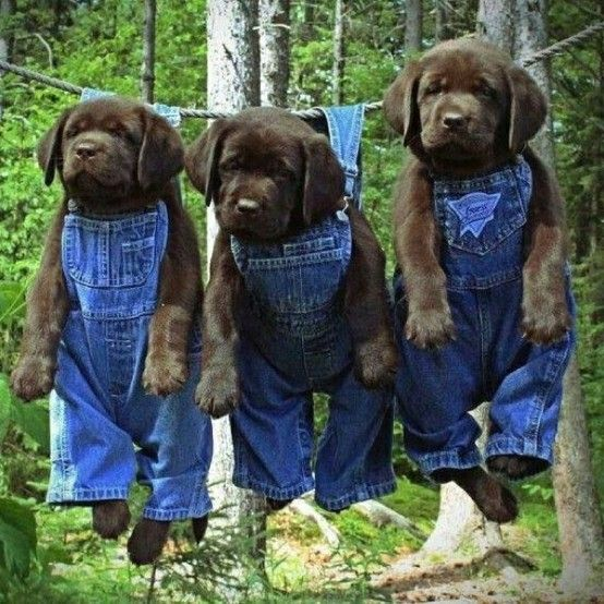 : Puppys Pictures, Labrador Puppys, Sweet, So Cute, Pet, Chocolates Labs Puppys, Little Puppys, Black Labs, Animal