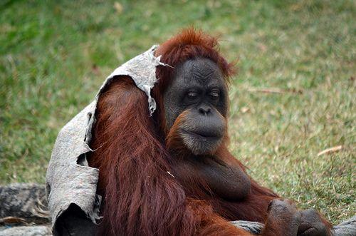 """Orangotango - http://dailyfunnypets.com/pictures/dogs-pics/orangotango-2/ - Orangotango  Image by Digo_Souza O orangotango (cujo nome vem de duas palavras da língua malaia que, juntas, significam """"pessoa da floresta"""") é um género de exclusivamente duas espécies asiáticas de Grandes primatas. Nativo da Indonésia e da Malásia, os orangotangos são encontrados  ... - Orangotango"""