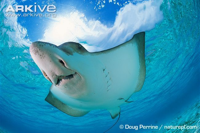 The spotted eagle ray is very distinctive with a flattened body and triangular corners to the wing-like pectoral fins. The snout is rounded and pointed at the tip, so that it resembles a bird's...