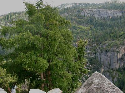Torreya californica - Google Search