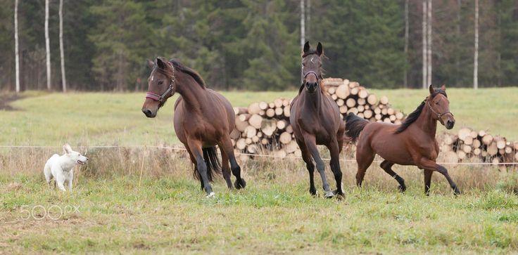 Koira paimentaa hevosia - null