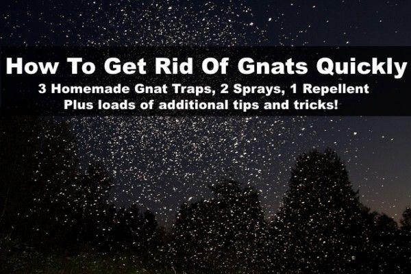 How To Make A Gnat Trap & Get Rid Of Gnats Quickly!