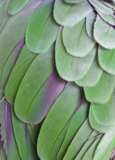 Amazon parrot wing