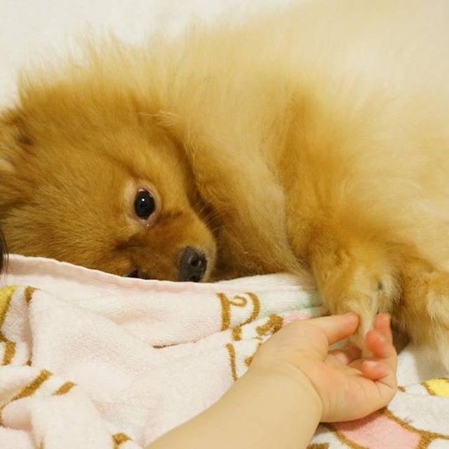 手を繋いで寝ようとしていた2歳娘と3歳犬♡ 遊びの延長でしょっちゅう手を噛まれてるけど、仲良しさん♡ うちのワンワンは明日トリミングに行くので、このロングヘアーは見納め✨思いっきり短くしちゃおうと思います!! . #ポメラニアン#ポメラニアン部#pomeranian#pome#pomestagram#愛犬#犬#可愛い#ふわふわ#北海道#札幌#ママ#娘#我が子#写真撮ってる人と繋がりたい#モデル犬#写真好きな人と繋がりたい#子供と犬#犬と子供#仲良し#手繋ぎ