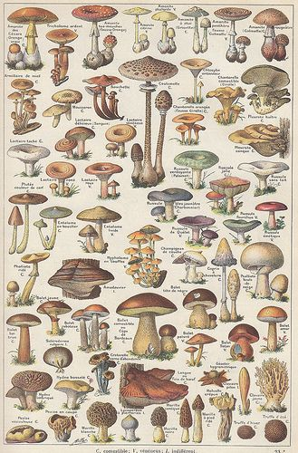 Champignons ~ a plate from the 2-volume Larousse Universel, a French illustrated encyclopedia published in 1922 by Éditions Larousse and edited by Claude Augé from the original work of Pierre Larousse. Photo via Ωméga@ Flickr