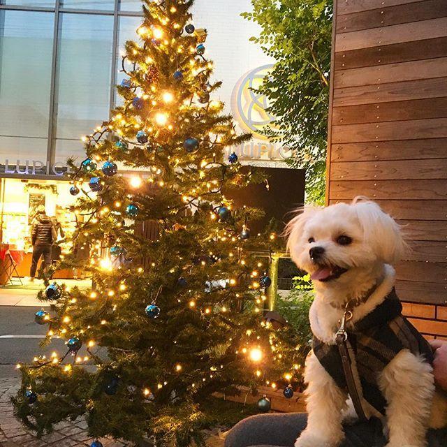 メリークリスマス✨ . お久しぶりのムーです✨ あっという間にクリスマスに . ママサンタから お洋服&新しい首輪とリードのプレゼント 早速着てお散歩へ . パパサンタからはプレゼントあるかな笑 . . #チワマル#マルチワ#チワワ#chihuahua #マルチーズ#maltese #ミックス犬#ペット#愛犬#pet#petsagram #dog#dogstagram #instadog #ふわもこ部 #犬バカ部 #muu#ムー#クリスマス#xmas #プレゼント#クリスマスツリー