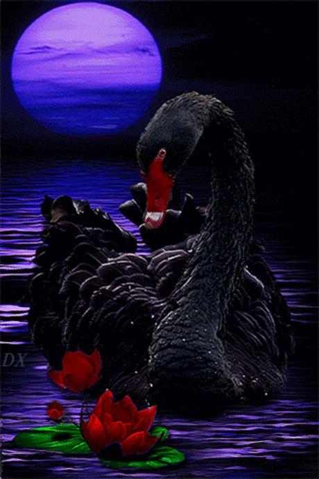 Картинки   ЖИВЫЕ КАРТИНКИ   Черный лебедь, Картины с ...