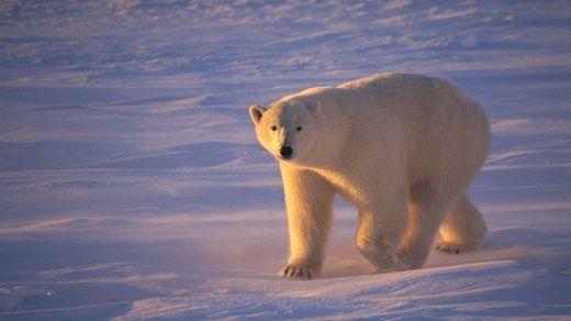 Lone polar bear in the midnight sun in Canada #wildlife #polarbear #nature #kilroy #travel