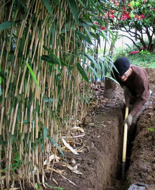 barrière anti rhizome -creuser-tranchée-profonde-brise-vue-bambou