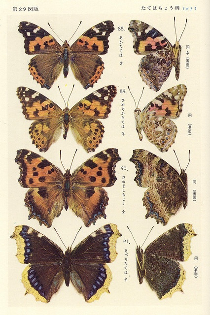 vanessa butterfly drawing images - 426×640