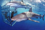 I want to do this so bad! Oahu Shark Dive$59.99