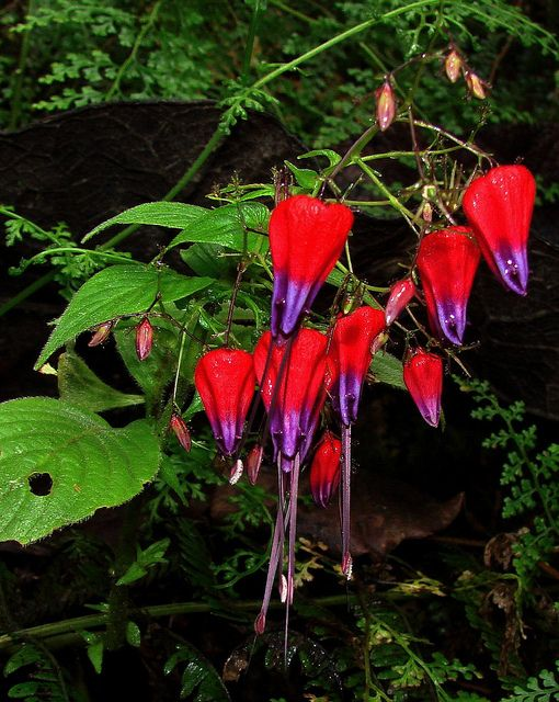 Stenostephanus species-- by Hesperia - Acanthaceae/Acanthus Family....taken at high elevation in the Sierra Nevada de Santa Marta , the northern coastal mountains of NE Colombia.