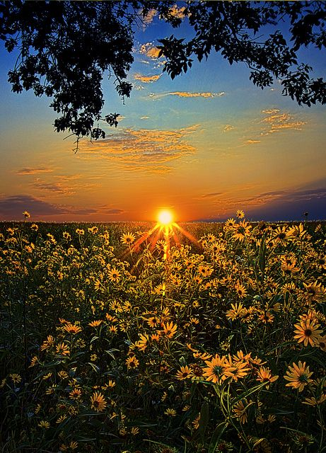 sunflower sunset: