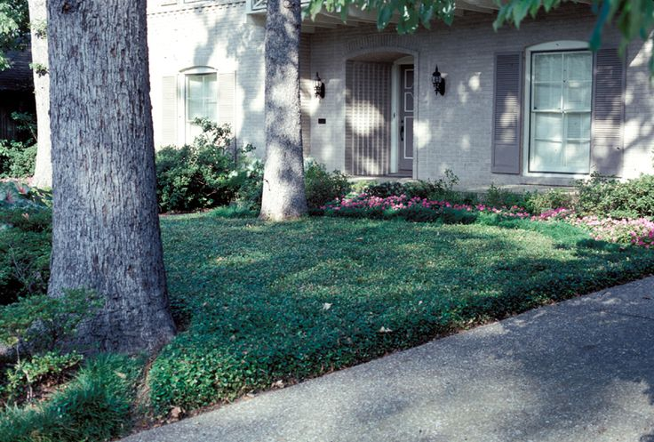 Smaller Area Covered By Asian Jasmine And Mowed To Keep