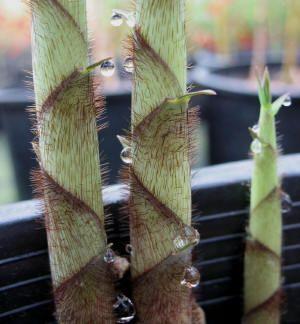 Fargesia robusta,Clumping Bamboo, Fargesia robusta Campbell