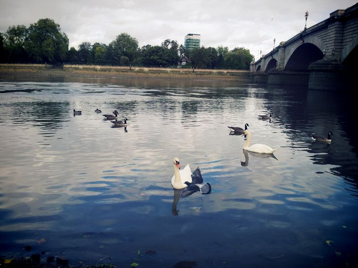 Putney Bridge, Swans at River Thames in London