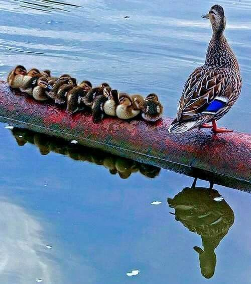 A super cute family! #Ducks #Animals #Family