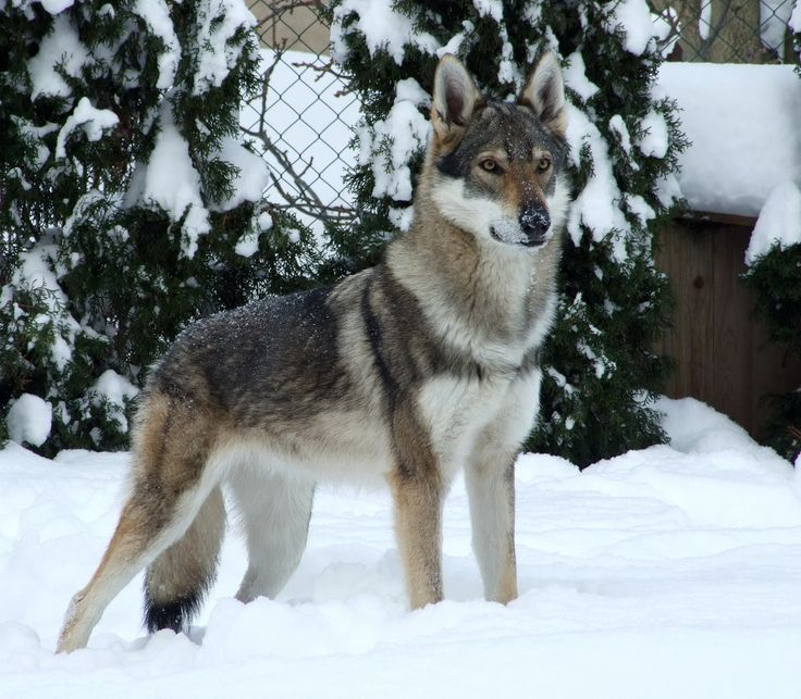 Czechoslovakian wolfdog! Cross between a german shepard and a wolf...now that is exactly war i have spoken of...i know a wolf when i see it, definitely dangerous breed, but also fun :)