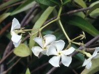 Producing fragrant white flowers in summer, the star jasmine is an evergreen, woody climber with oval leaves.