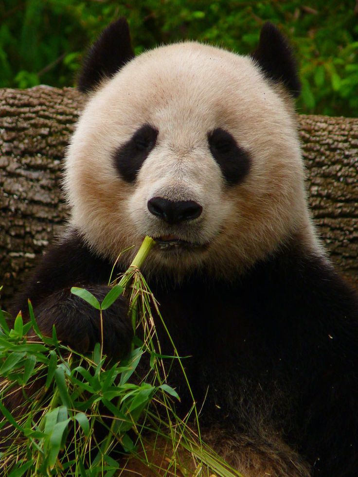 Endangered panda bears are dying from illegal logging practices. Stop the destruction of these unique and beautiful animals' habitat before it's too late to save them.