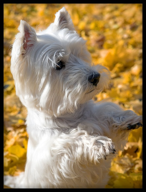 Westie,    They are so cute!
