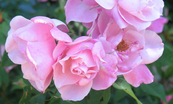 """Images made into 5"""" x 7"""" notecards; $2.50 each; copyright Judy Goffin; #roses #notecards #photography #judygoffin"""