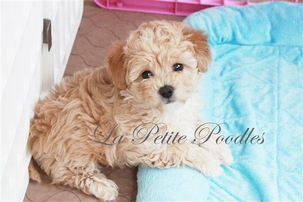 Toy Poodle Puppies For Sale In Texas Toy Poodle Puppies Poodle