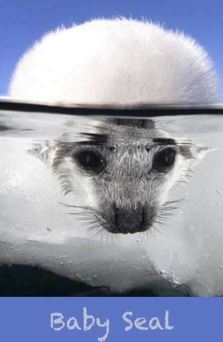 A baby seal cautiously dips its head in freezing cold water as it goes swimming for the first time. The two-week-old harp seal explores the environment in the -2 degree Celsius waters after jumping in from the ice.  Photographer Keith Monroe, travelled to the a floating ice pack in the Gulf of St Lawrence just off the Magdalen Islands, Canada.