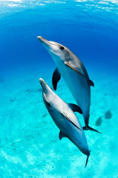 """thelovelyseas: """"A duo of young Atlantic Spotted dolphins spirals around me while returning to the surface. These dolphins are some of the most interactive dolphins I have ever encountered. Just spectacular..! Image taken while freediving, ambient..."""