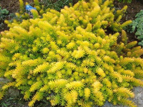 Очиток отогнутый Ангелина('Angelina'). Очиток отогнутый, или Седум рефлексум (Sedum reflexum) — многолетнее вечнозелёное растение. Относится к почвопокровным. Стелется по земле, образуя пушистый ковёр. Высота стеблей не более 10 см, редко до 20 см..