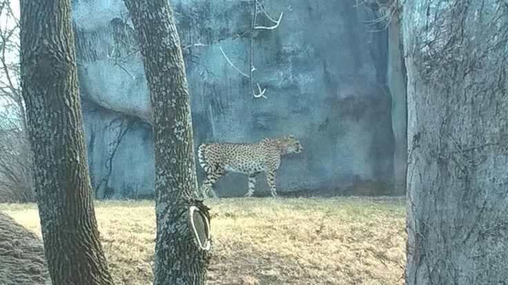 This is the cheetah at the Kansas City Zoo