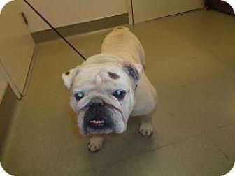 Wildomar, CA - English Bulldog Mix. Meet Chunk, a dog for adoption. http://www.adoptapet.com/pet/18050717-wildomar-california-english-bulldog-mix