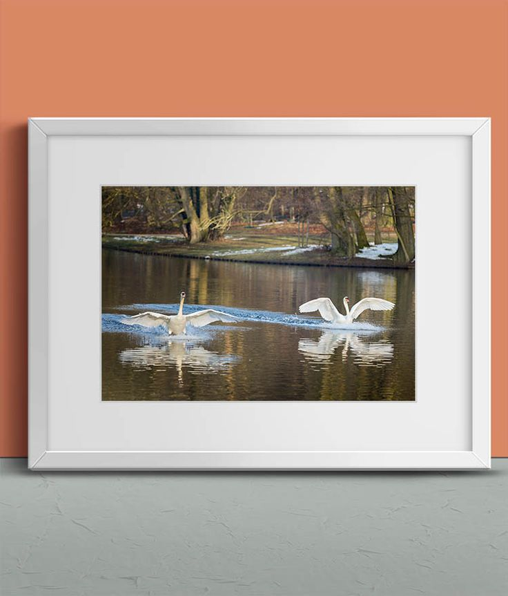 Swans landing on the Water by Tim Abeln Photography and Digital Art Prints. Beautiful wall decoration for your home and office. Swans landing in the water at park Sonsbeek in Arnhem, the Netherlands. #wallart #walldecor #photography #animals #homedecor #art #inspiration