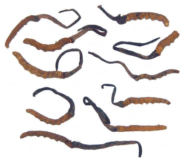 Cordyceps Sinensis - Ophiocordyceps sinensis - Wikipedia, the free encyclopedia