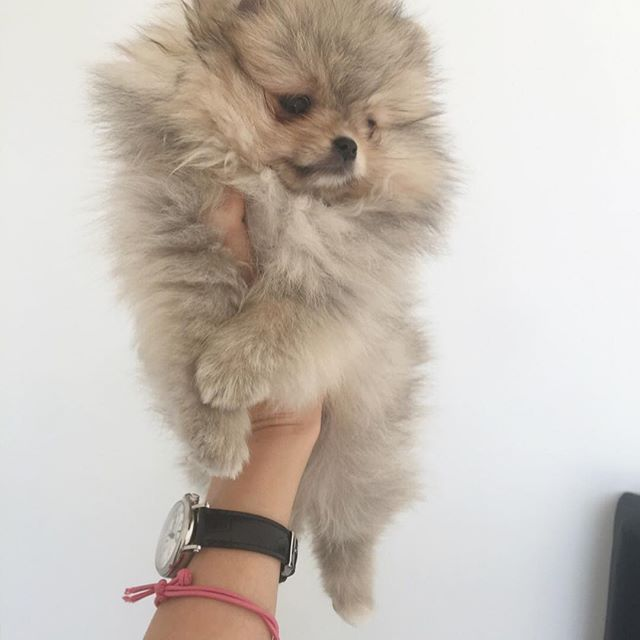 Pomeranian puppies for sale. Get pics and price on https://spitzpomeranian.co.uk