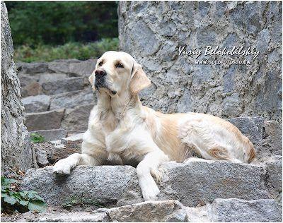Our Dogs / Наши собаки - Gold Kiss Lady Luck питомник щенки золотистого ретривера