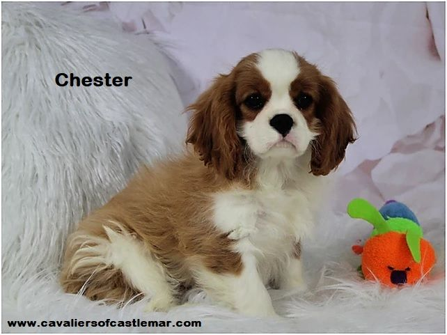 Chester Is A Blenheim Color Castlemar Cavalier King Charles Spaniel Puppy Born N In 2020 King Charles Spaniel King Charles Cavalier Spaniel Puppy Cavalier King Charles