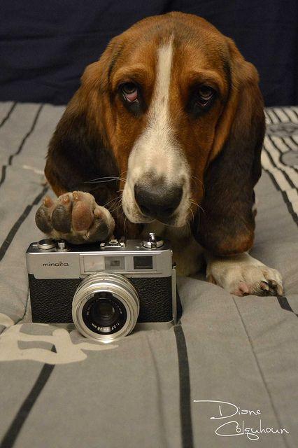 Say Cheese Basset Hound Dog Basset Hound Bassett Hound