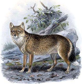 Recently Extinct Animals - Species Info - Falkland Islands Wolf