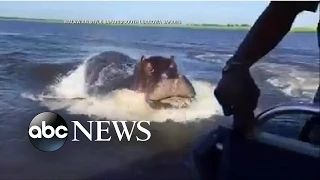 Hippo Chases Behind Speed Boat in Frightening Moment - YouTube