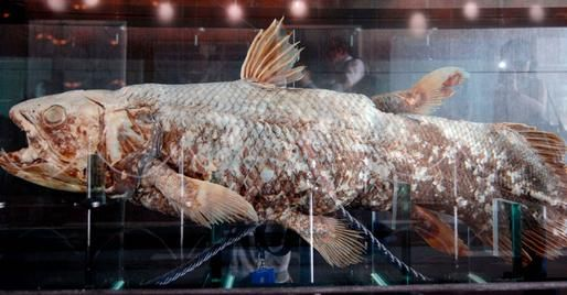 Once thought to be extinct in the same event that killed off the dinosaurs some 65 million years ago, the coelacanth is a lobe-finned fish that sparked a debate over whether this species represented a missing link between aquatic animals and four-legged terrestrial creatures, according to National Geographic. The animal was rediscovered in 1938 and only two species of coelacanth still exist today. In 2007, a fossilized coelacanth fin was found dating back roughly 400 million years.
