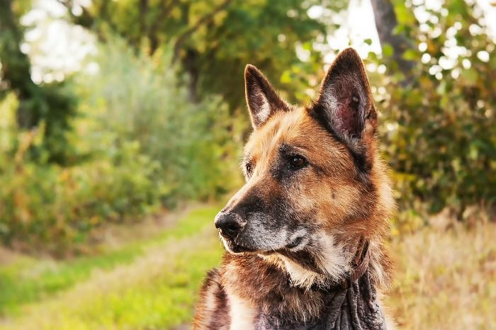 How Much Do German Shepherds Shed Dogs German Shepherd Shedding