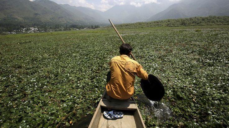 Un hombre rema en su embarcación sobre la cosecha de castañas de agua en el lago Wular, cerca de Srinagar, en India