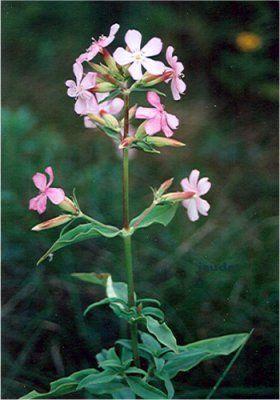 Fleurs sauvages de l'Acadie - Saponaria officinalis