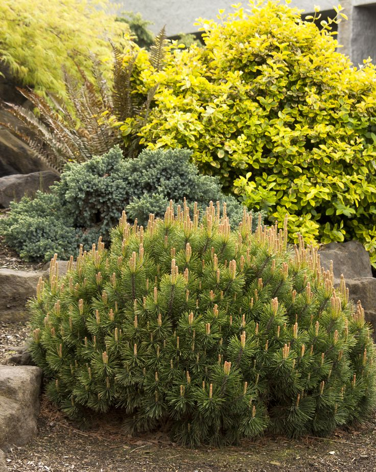 Dwarf mugo pine keeps a ball shape without pruning for Outdoor shrubs and plants