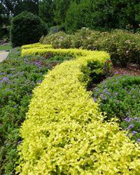 U0027Sunshineu0027 Ligustrum Ligustrum Sinense U0027Sunshineu0027 PP20379..Bloom/Feature  Year · Golden GardenGarden PlantsGarden ...