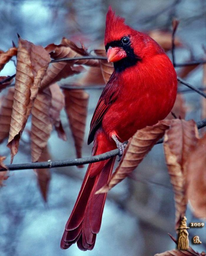 Northern Cardinal (Cardinalis cardinalis) by Bill Garber