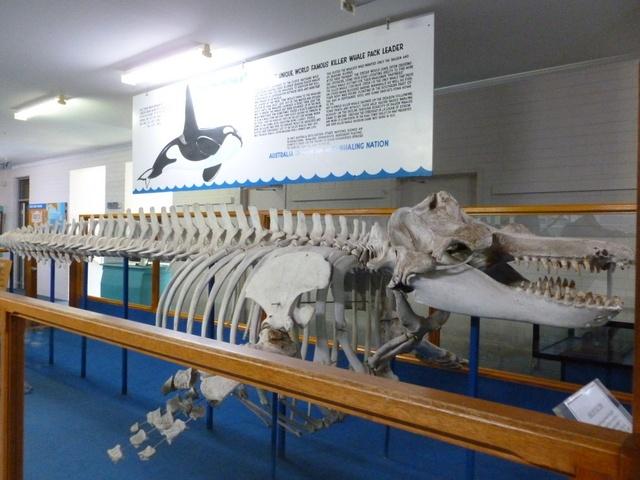 Killer whale skeleton - Eden Whale Museum, NSW Australia